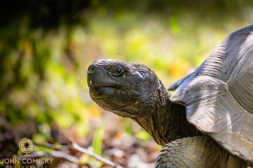 Galapagos Tortise Profile