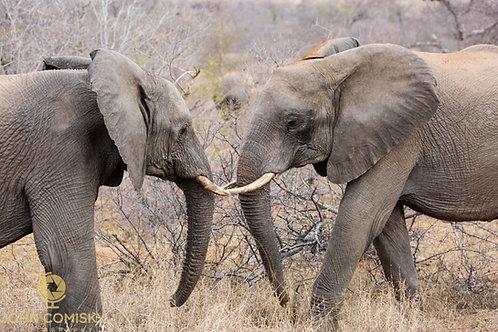 """Joust"" - Africa Elephants"