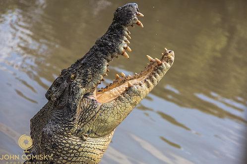 """Salty"" - Australia - Saltwater Crocodile"