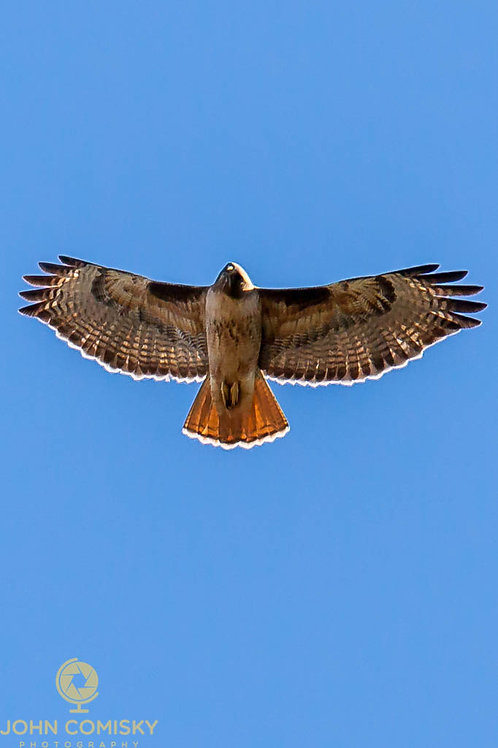 Red-Tailed Hawk - Here