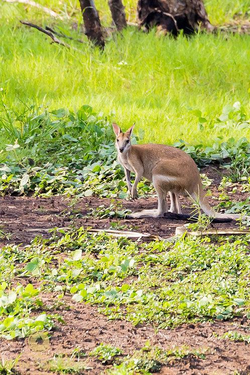 Wallaby - Darwin Australia