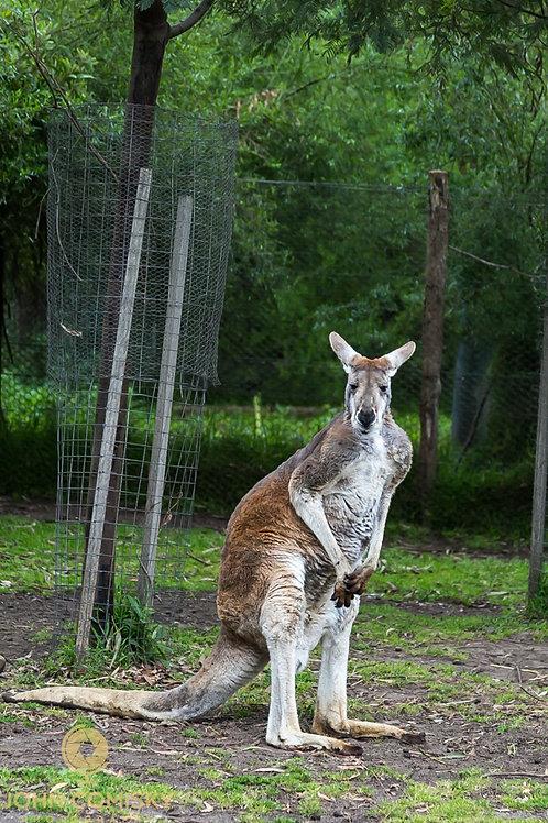 Red Kangaroo - Melborne Australia