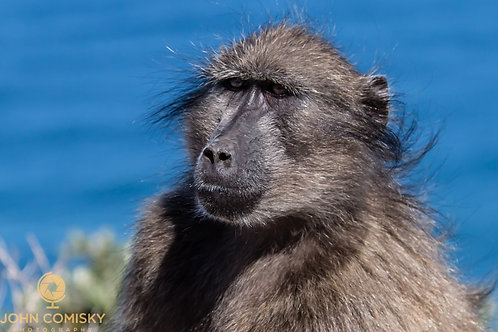 Africa - Baboon Portrait