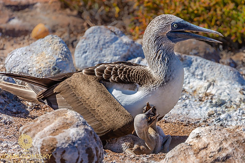 Blue Footed Boobie 5