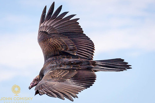 """""""From above""""- Turkey Vulture"""