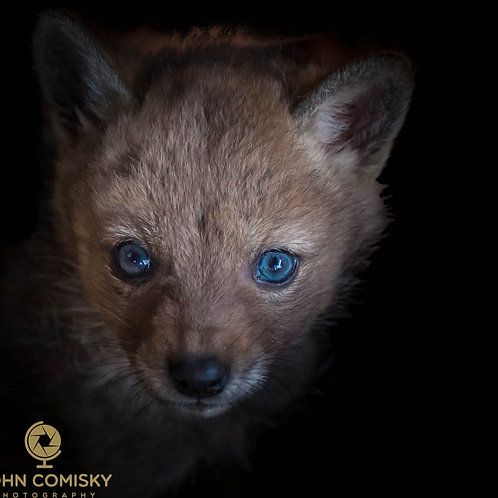 """""""Alone""""  Coyote Pup"""