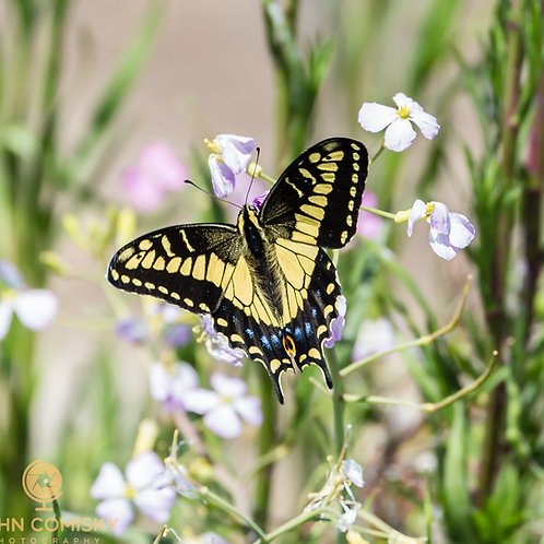 Insects - Swallowtail Butterfly - Napa