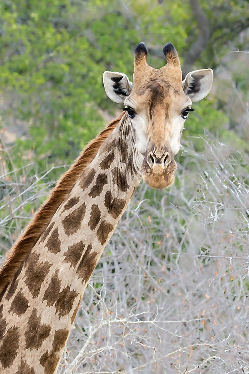 """Happy To Pose"" - Africa Giraffe"