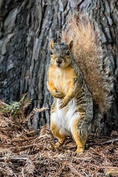 """""""Put 'em up"""" - Red Squirrel"""
