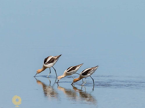 """Three's Amigos"" - American Avocets"