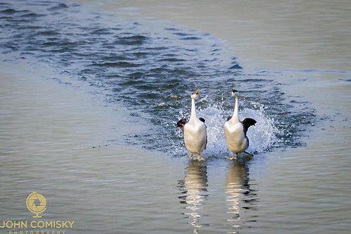 """Dancing"" - Grebes courting"
