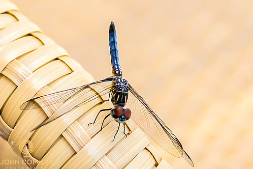 Insects - VB Dragon Fly