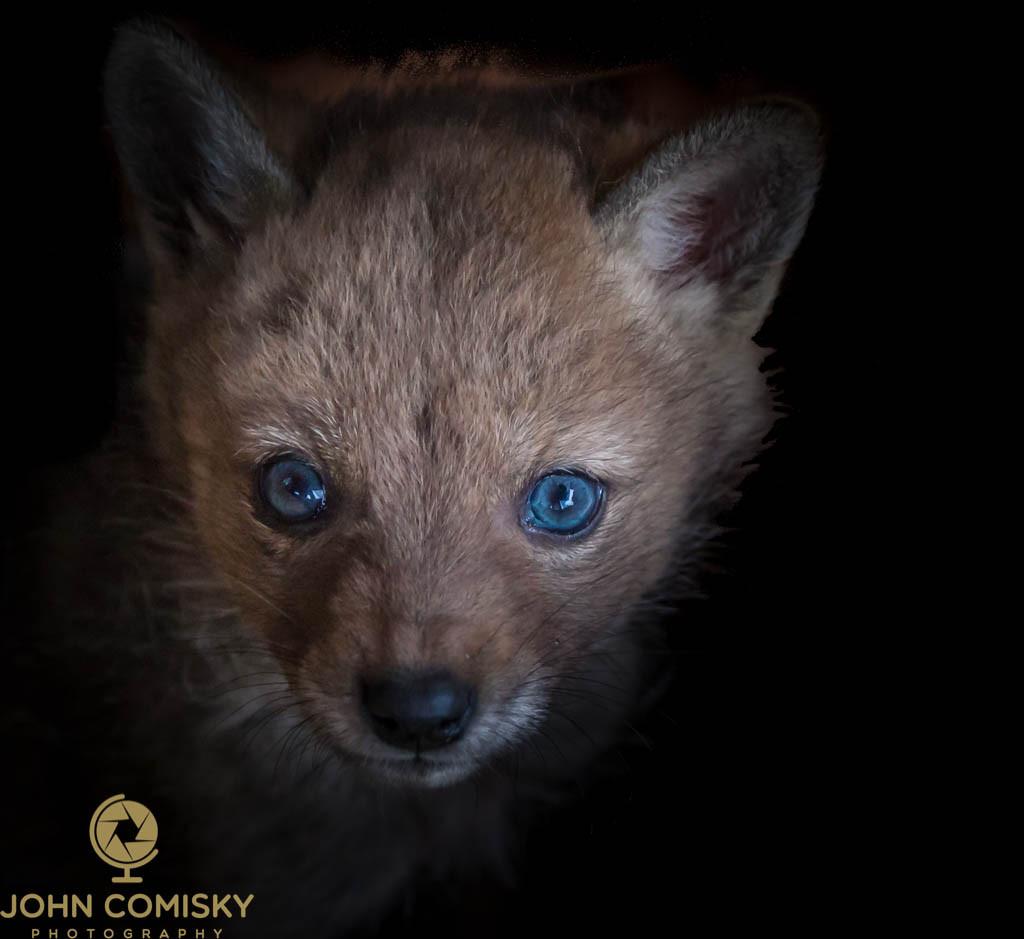 Coyote pup.jpg