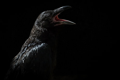 """Raven and Sunbeam"""