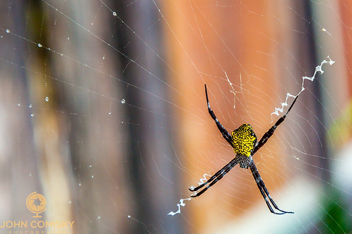 Insects - Banana Spider - Maui