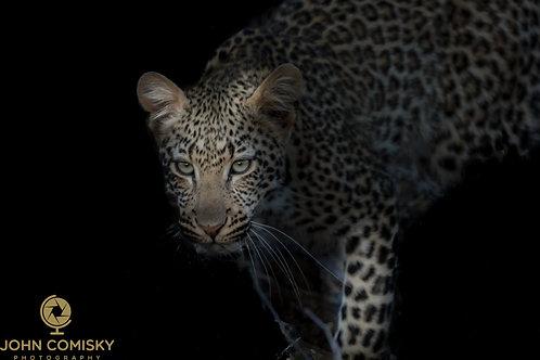 """Leopard Decending"" - African Leopard"