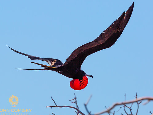 Frigate Bird - flying with pouch