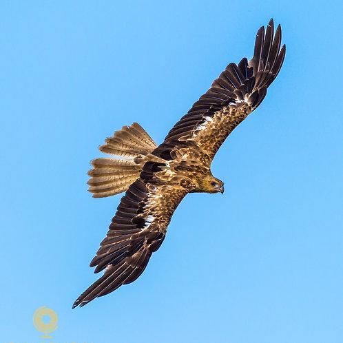 Black Kite - Darwin Australia