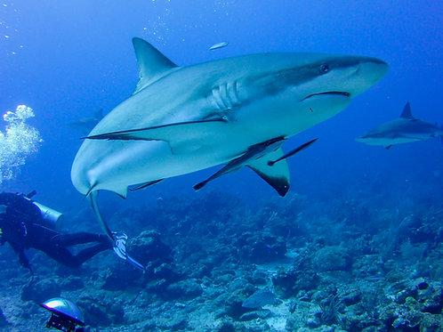 """""""Close Encounter"""" - Roatan Shark"""