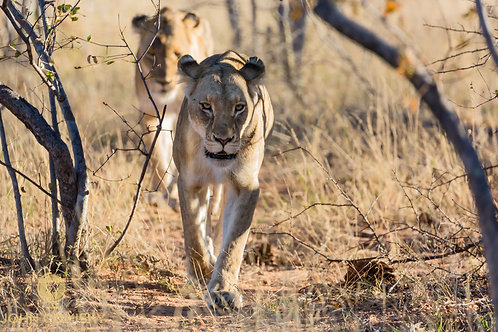 """""""The Hunt"""" - Africa Lion"""