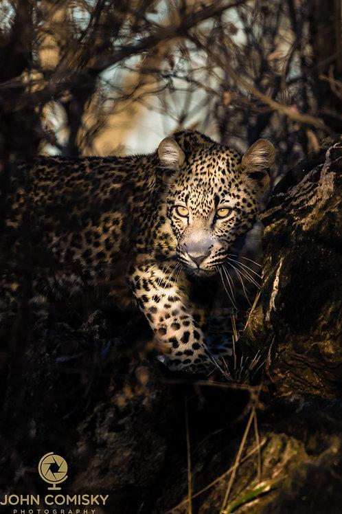 """Sunbeamed"" - African Leopard"
