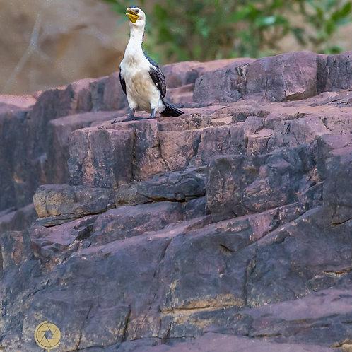 Pied Cormorant - Katherine Australia