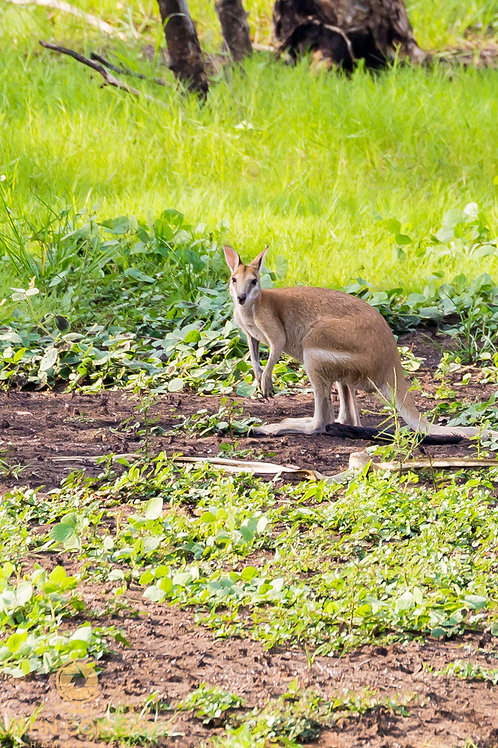 Wallaby - Australia