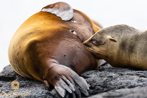 """Mother's Milk"" - Galapagos - Sea Lion"