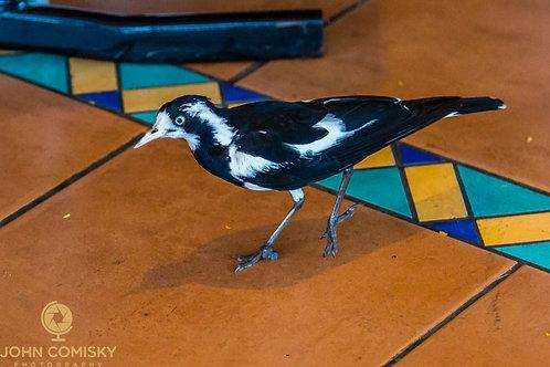 Magpie Lark - Australia