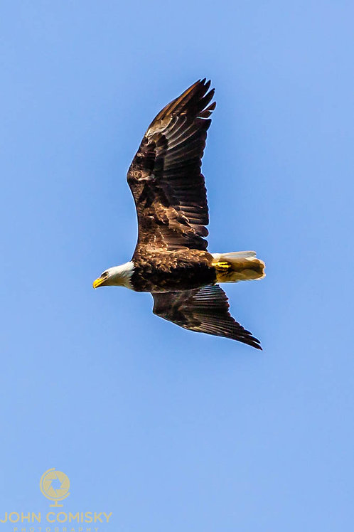 Bald Eagle - Passing over the lake