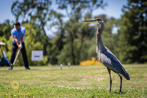 Great Blue Heron and golf