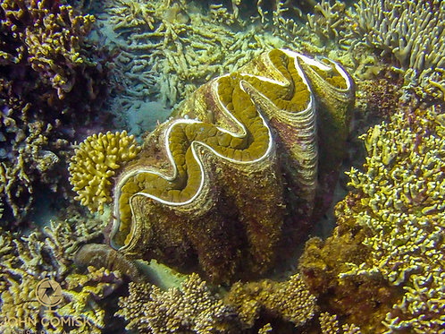 Great Barrier Reef - Giant Clam