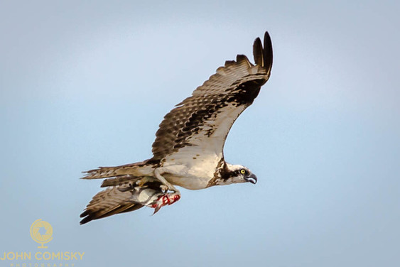 Osprey - Bringing home dinner.jpg