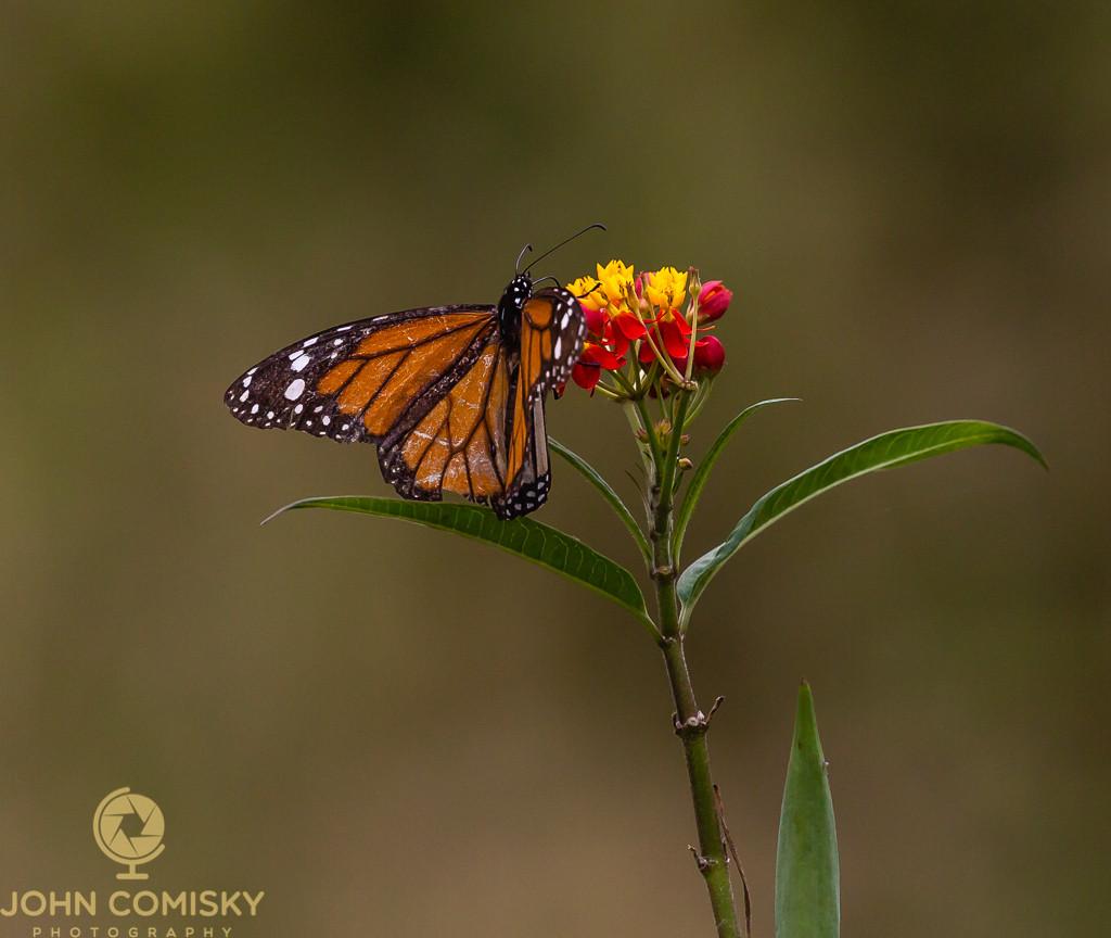 Galapagos - Cardinal Butterfly.jpg