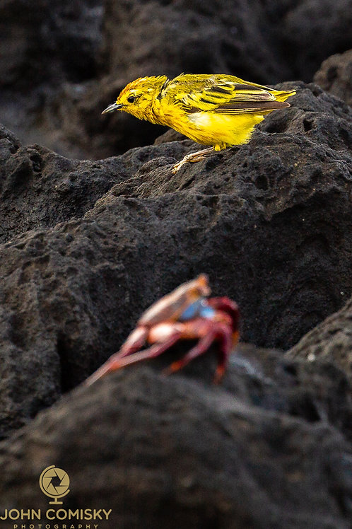 Galapagos - Yellow Warbler