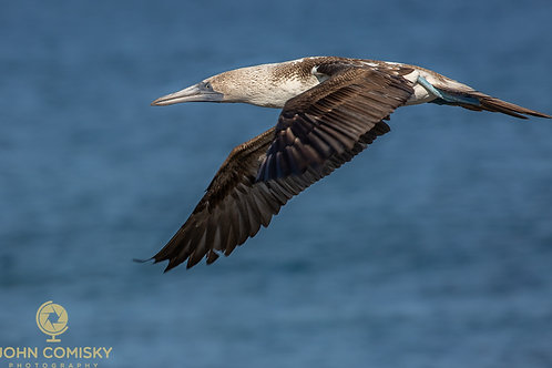 Blue Footed Boobie 9