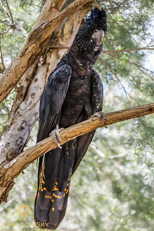 Black Cocktoo - Alice Springs Australia