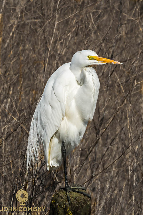 Great Egret on post