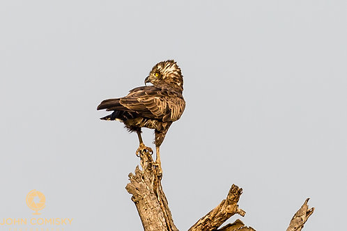 Africa - Brown Snake Eagle