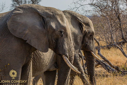 """Juvenile Line-Up"" - African Elephants"