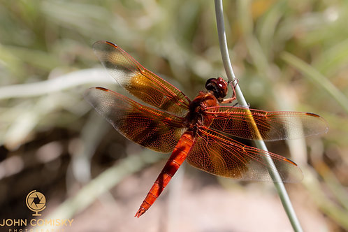 Insects - Dragon Fly-2