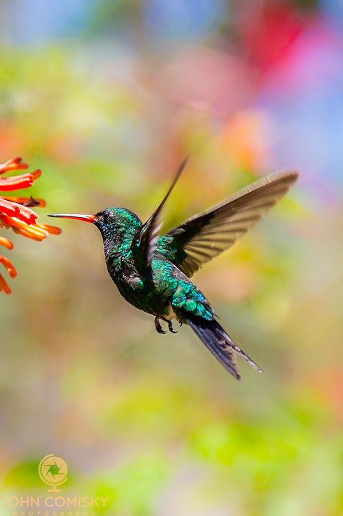 Emerald Humming Bird