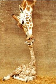 girafe 2.jpg