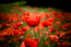 fleurs de coquelicots14.jpg