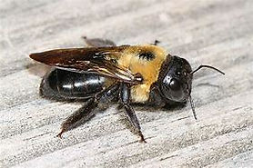 carpenter bee 2.jpg