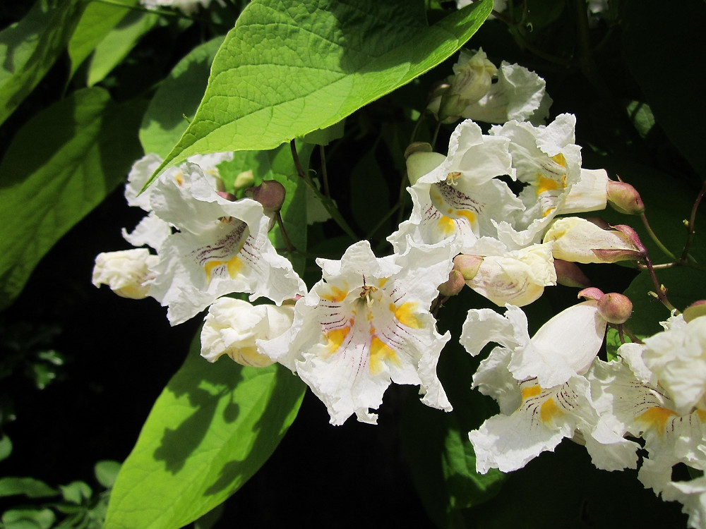 Catalpa Tree flowers blossom in May and June