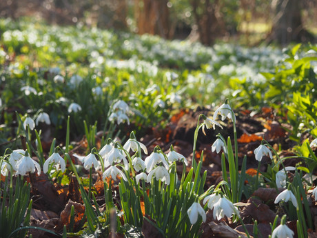 Visiting Hodsock Priory Snowdrops
