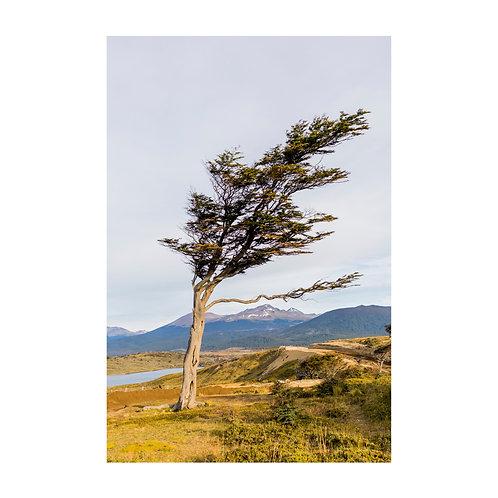 Árvore dobrada pelo vento, Ushuaia, Argentina