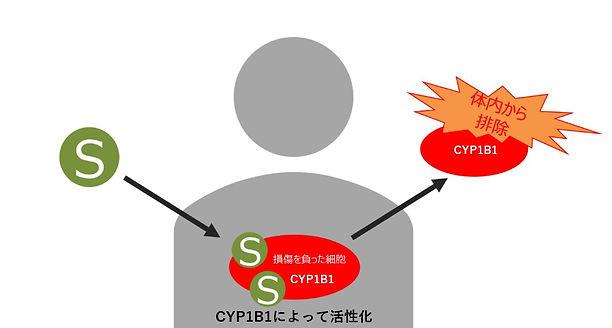 cyp1b1.JPG