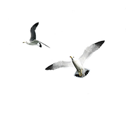 gulls 3 PNG.png